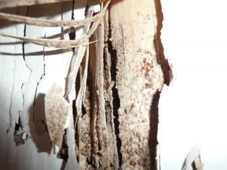 Termites souterrains